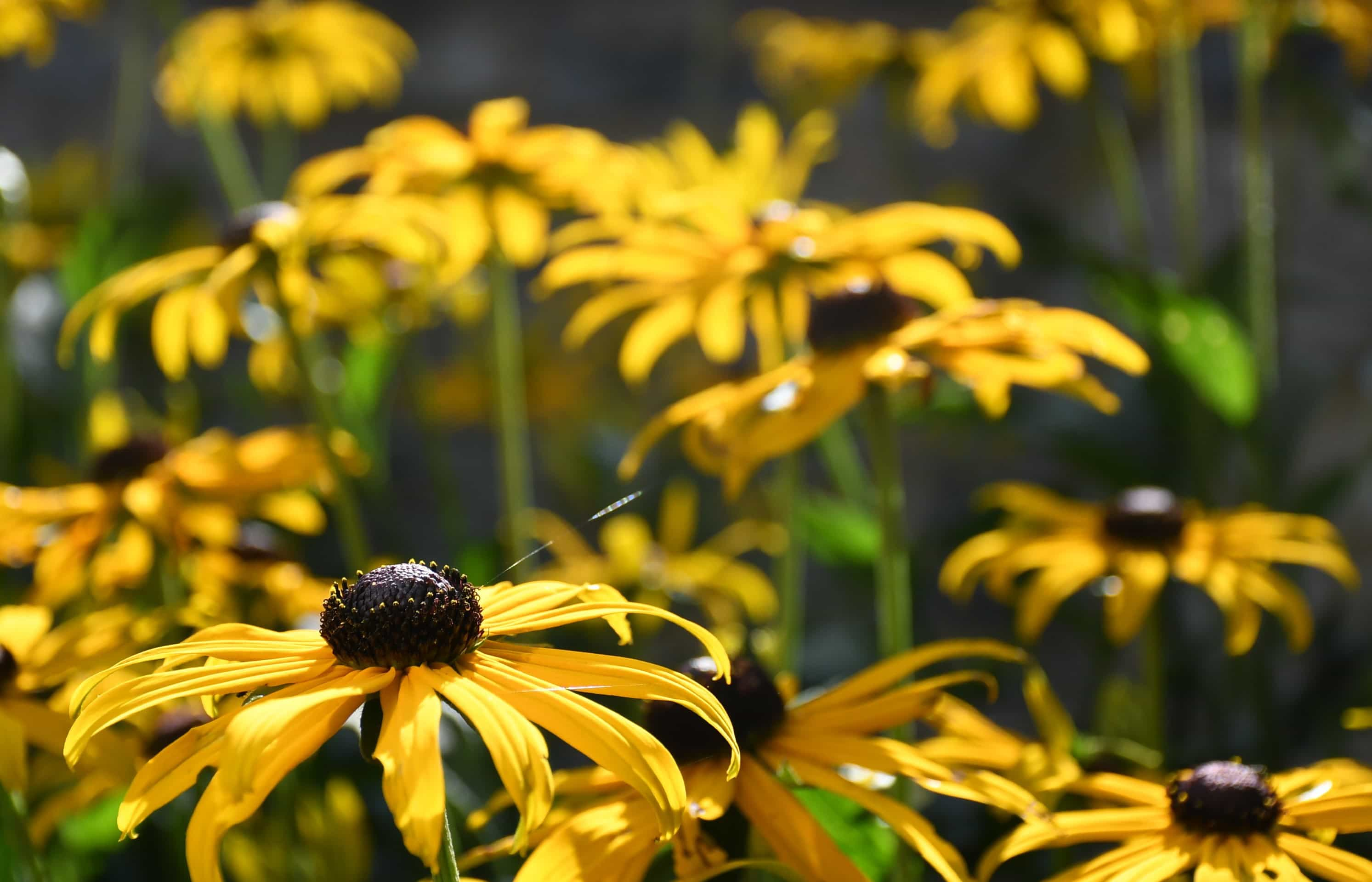 """Rudbekias. Featured in Mandy Kirkby's """"The Language of Flowres"""" in the Examined Life Library."""