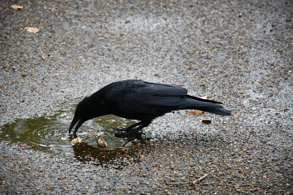"Photograph of crow. Featured in Max Porter's ""Grief is a Thing With Feathers"" in the Examined Life Library."