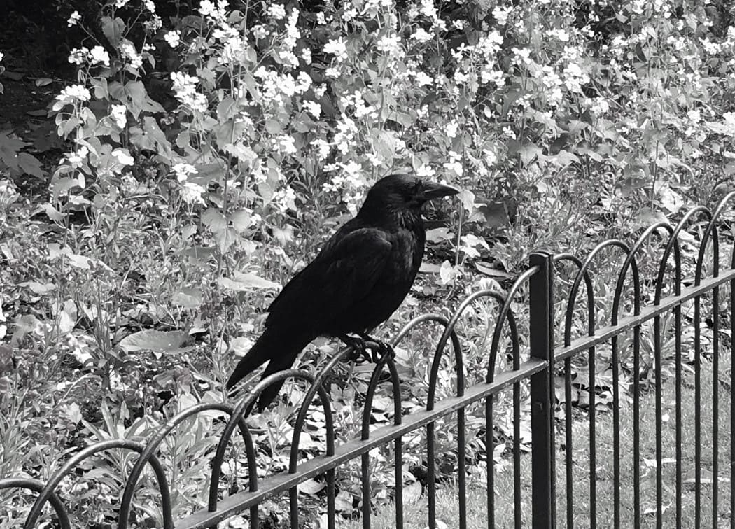 """London crow. Featured in Max Porter's """"Grief is the Thing with Feathers"""" in the Examined Life Library."""