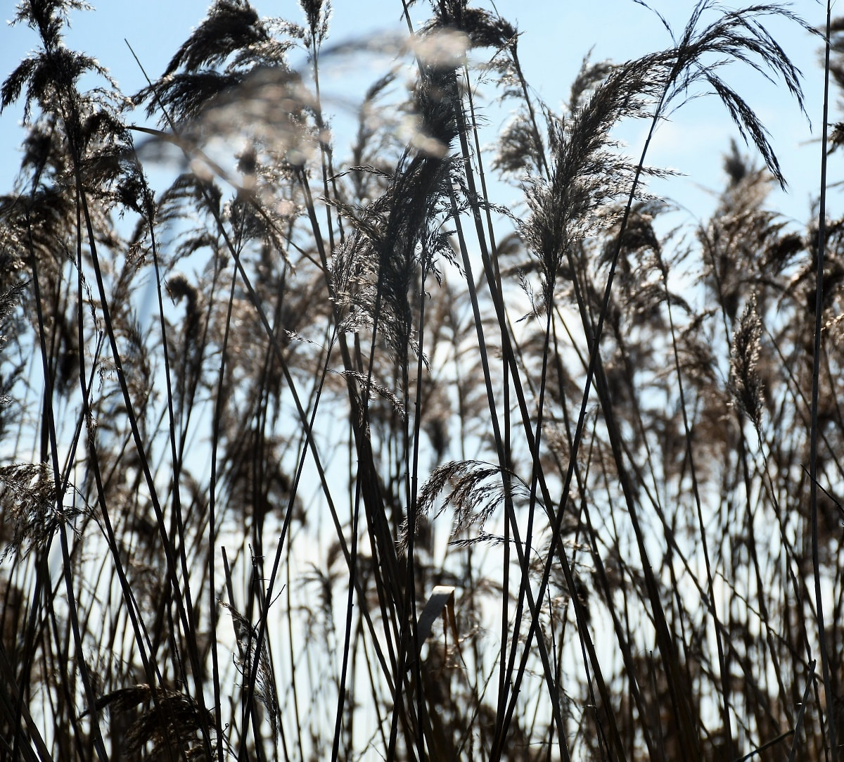 """River grass. Featured in Jun'icho Tanizaki's """"In Praise of Shadows"""" in the Examined Life Library."""