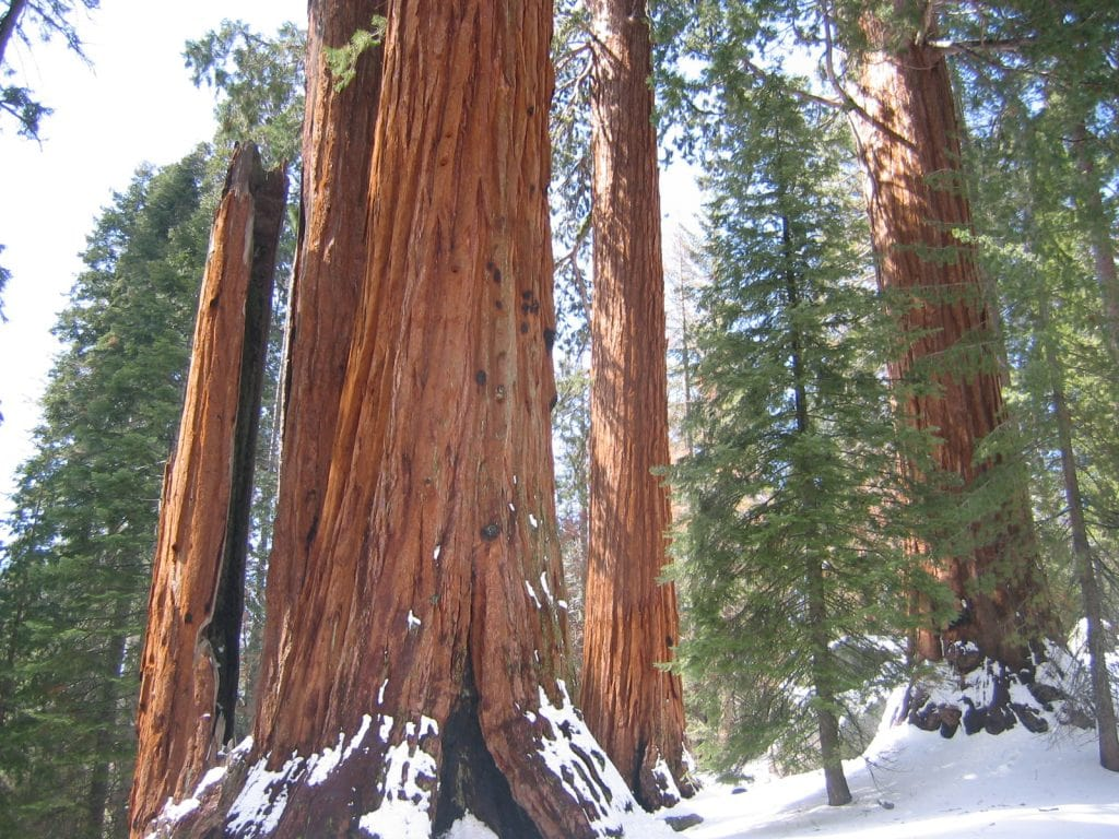 "Sequoia tree ""General Grant"" estimated age, 1,650 years."