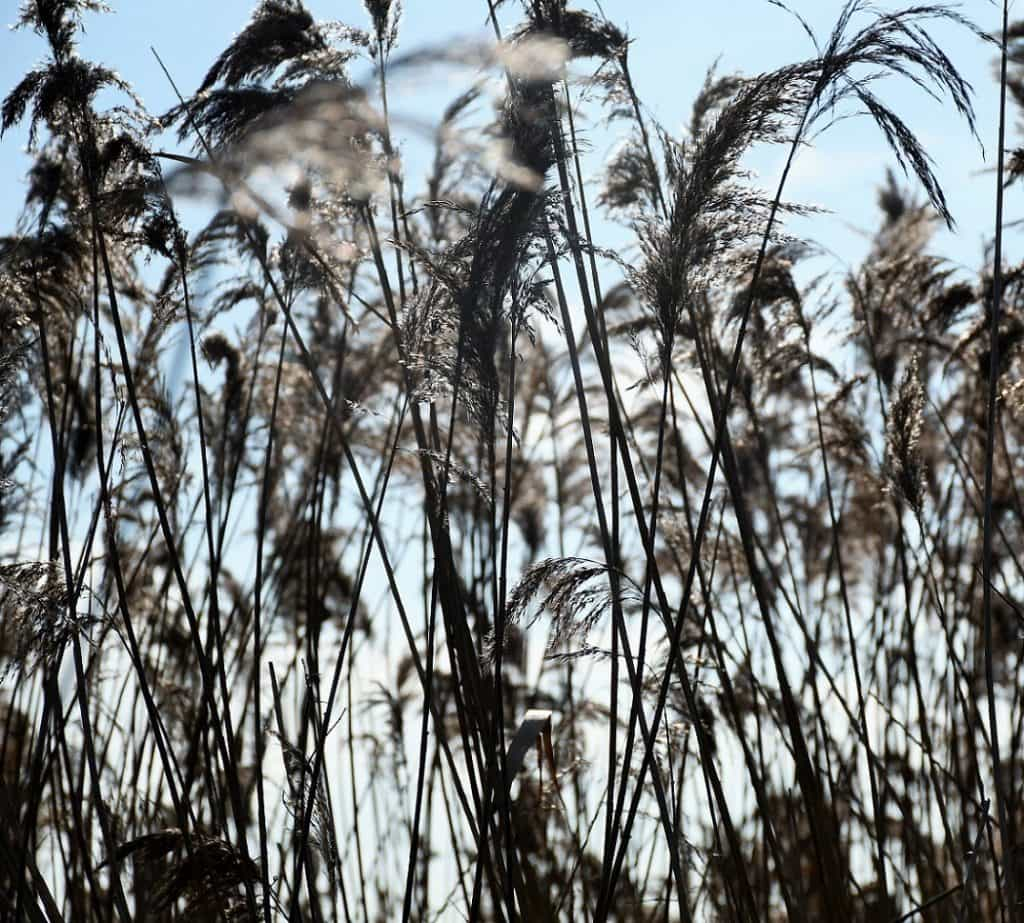 Reeds in the sun.