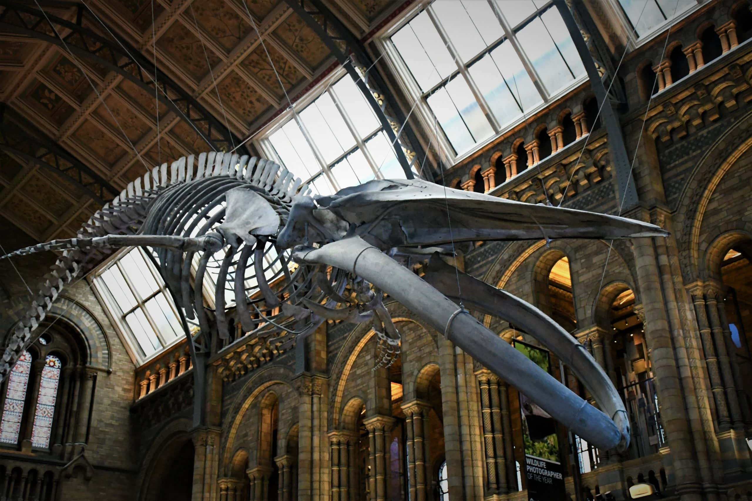 "Photo of Blue whale skeleton in the Natural History Museum. Featured in ""A Sense of Wonder"" in the Examined Life."