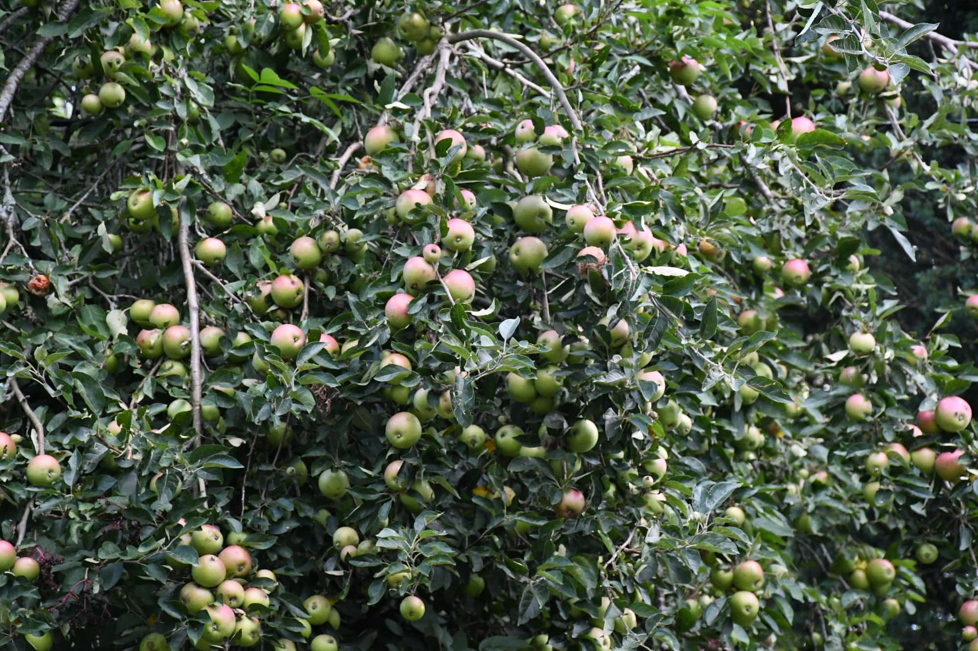 """Apple tree featured in Laurie Lee's """"Cider with Rosie"""" in the Examined Life Library."""