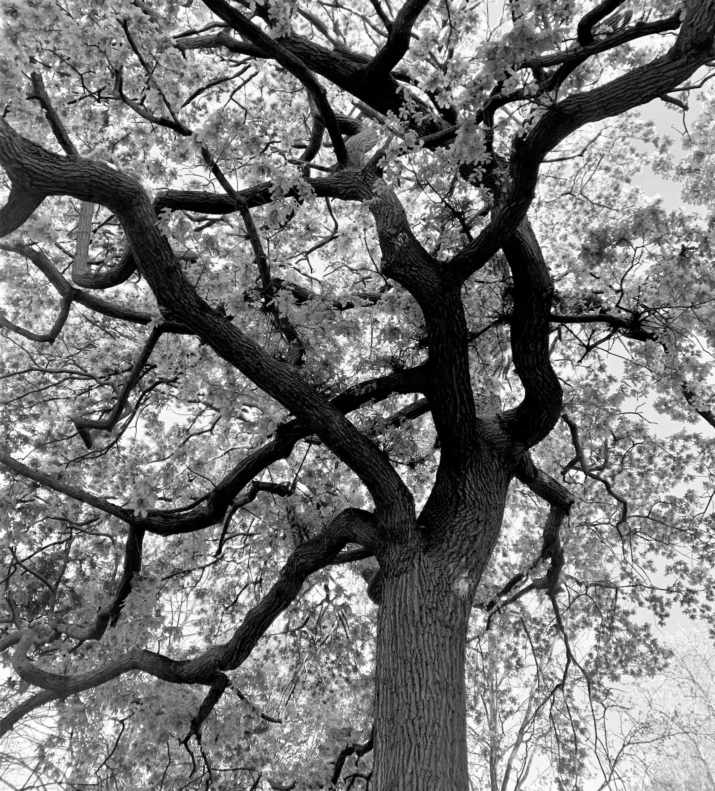 """Holland Park oak. Featured in Robert Macfarlane's """"The Wild Places"""" in the Examined Life Library."""