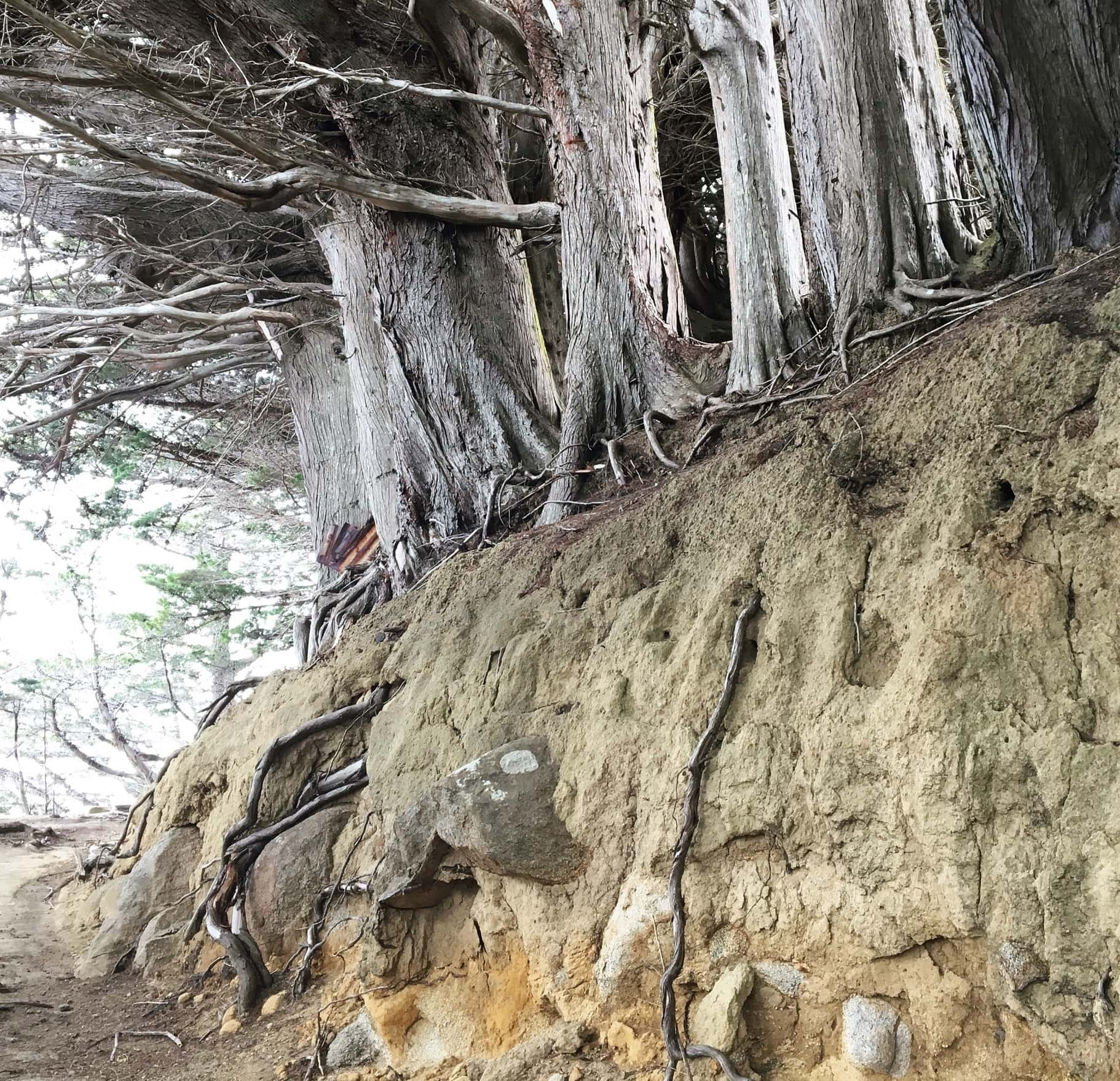 """Photograph of tree roots featured in Simone Weil's """"The Need for Roots"""" in the Examined Life Library."""
