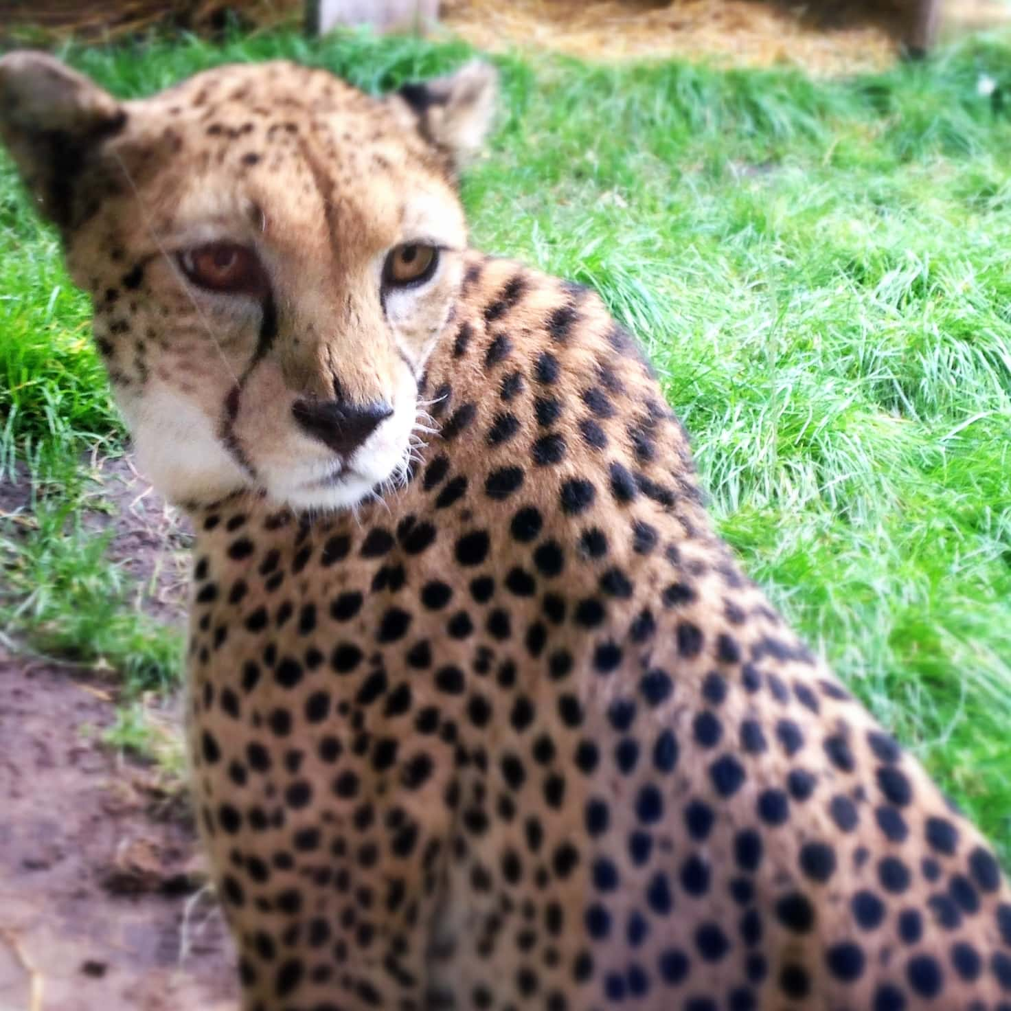 """Cheetah. Photograph by Ellen Vrana featured in Franz de Waal's """"Are We Smart Enough to Know How Smart Animals Are?"""" in the Examined Life Library."""