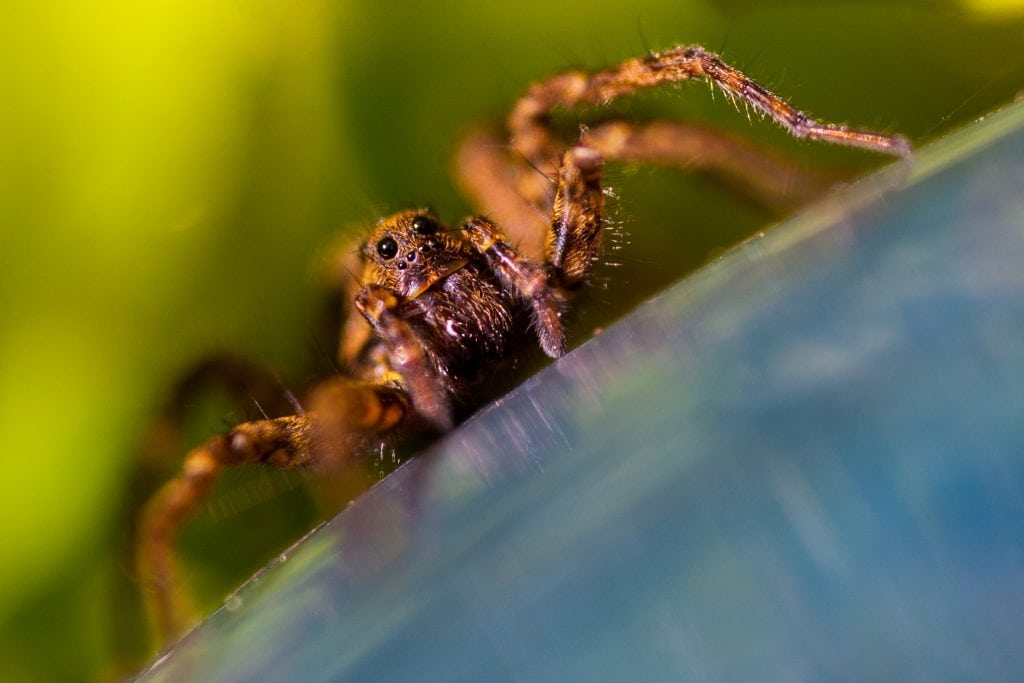 """Wolf spider by Joshua Burch for """"Close Observation of Insects"""" on The Examined Life."""