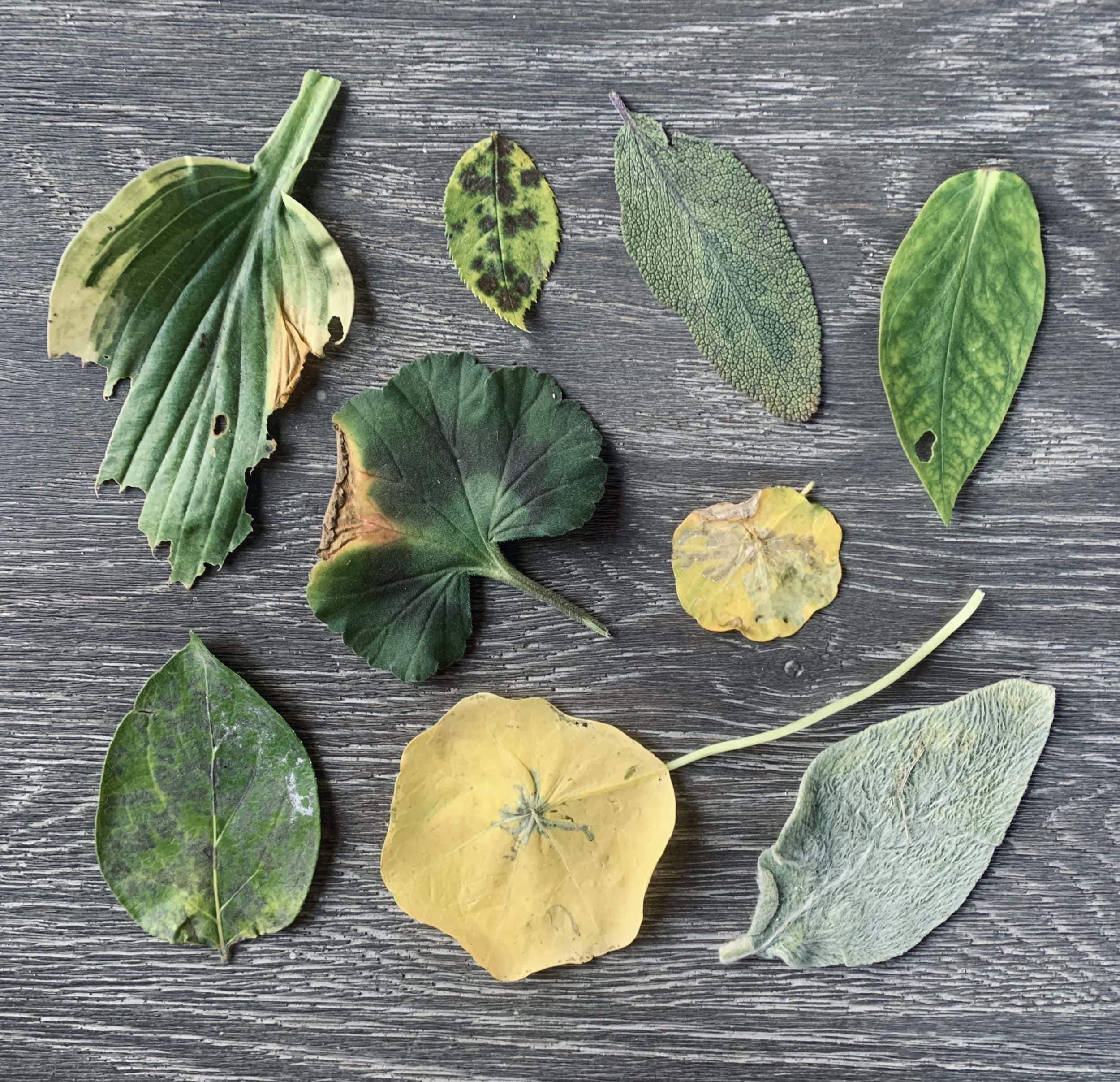 """Photo of yellowed leaves. Featured in Emma Mitchell's """"The Wild Remedy"""" in the Examined Life Library."""