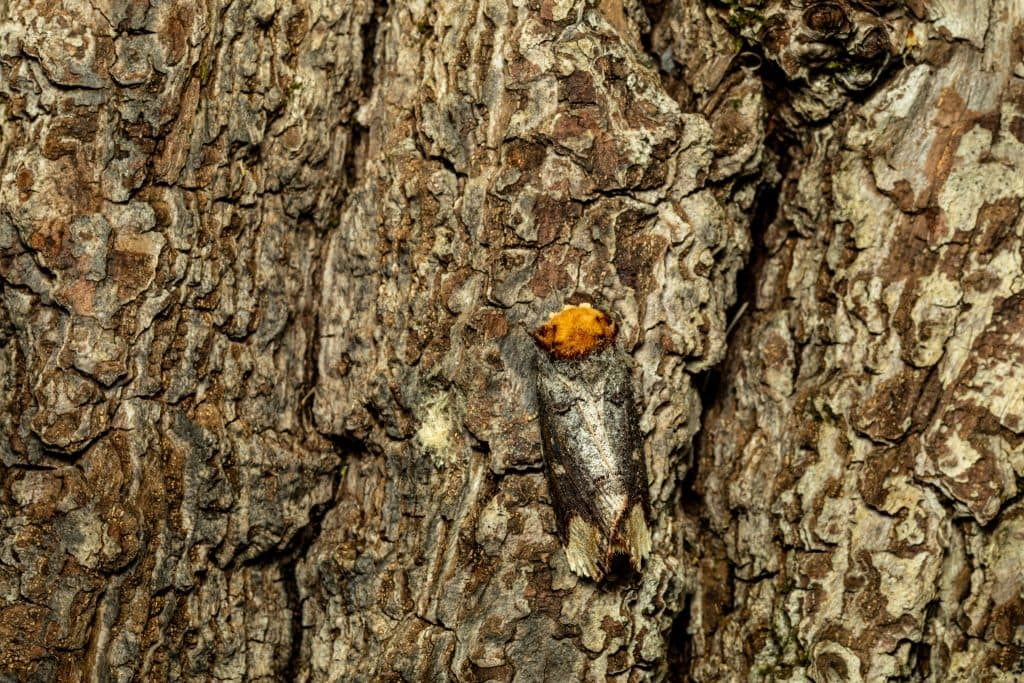 """Buff tip of a camouflaged moth by Joshua Burch for """"Close Observation of Insects"""" on The Examined Life."""