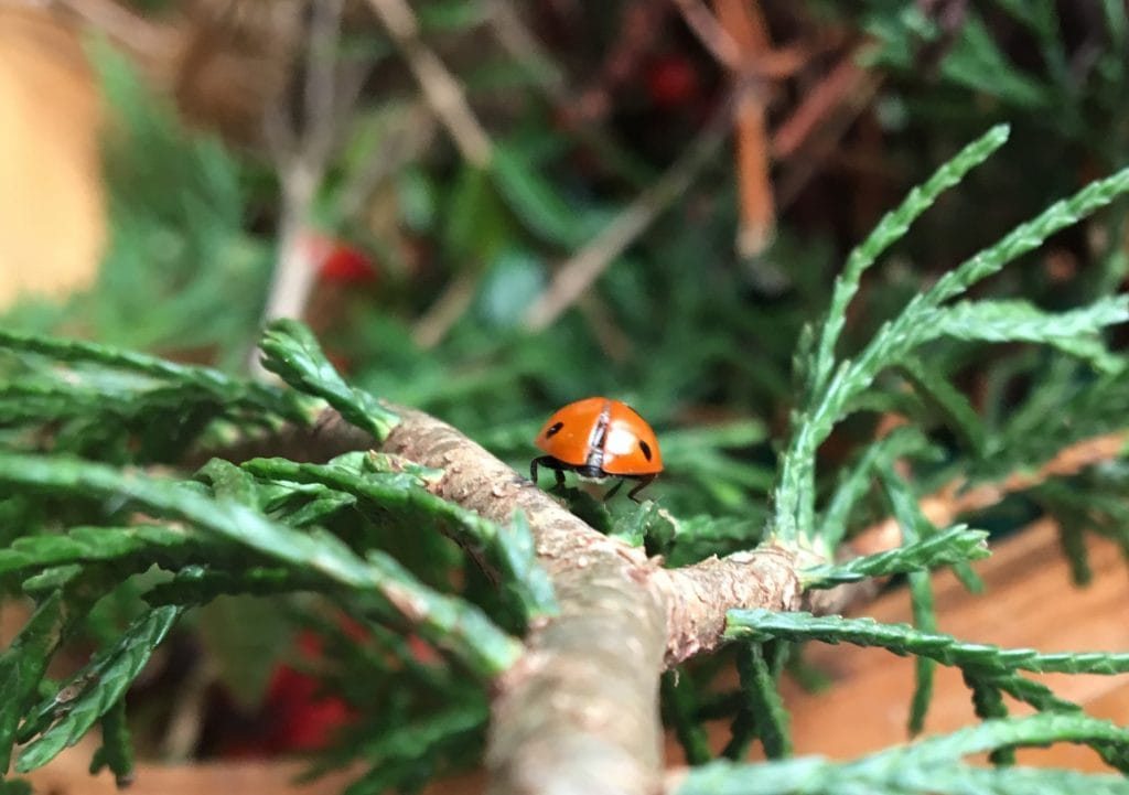"""Ladybug, by Ellen Vrana for """"Paying Attention Insects"""" on The Examined Life."""